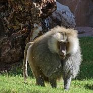Hamadryas Baboon - Male