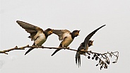 Barn Swallow Fledglings Waiting to be Fed