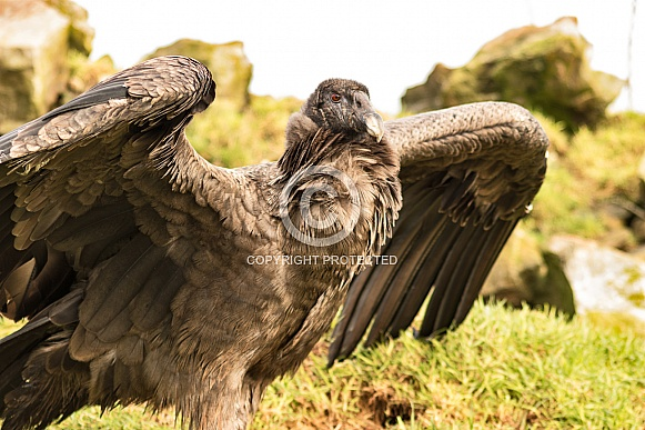 Female Andean Condor From Right Wings Part Spread