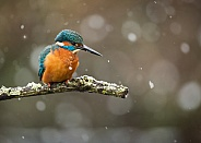 Common Kingfisher in Snow
