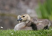 Canada geese, gosling