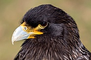Striated caracara portrait