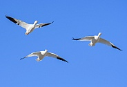 Migrating snow geese in the sky