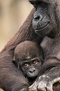 Mum and baby Western Lowland Gorillas