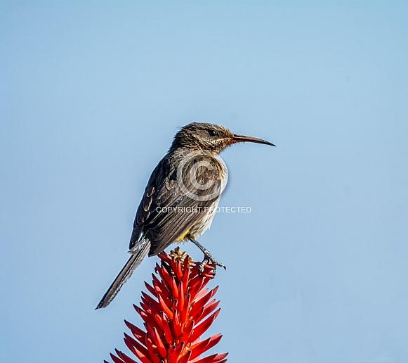 Female Cape Sugarbird