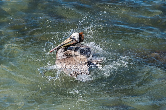 Brown Pelican splashes in Pacific Ocean