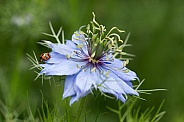 Ladybird on blue Nigella.
