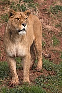 African Lioness Standing Full Body