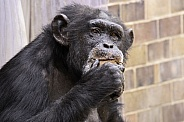 Chimpanzee Eating Looking At Camera