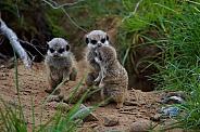 Trio Of Baby Meerkats