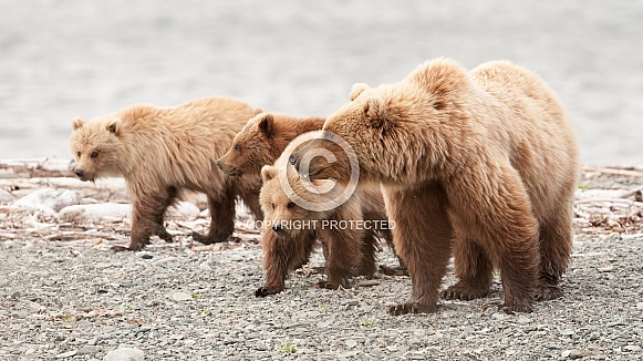 Wild Mother Brown Bear and three cubs in Alaska
