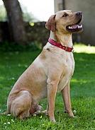Labrador x Hungarian Viszla