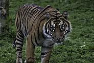 Sumatran Tiger Facing Forward