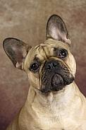 Fawn French Bulldog Portrait Shot
