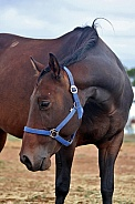 Dark Brown Mare Leaning Down