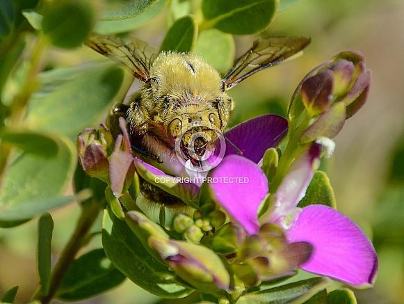 Male carpenter Bee on flower
