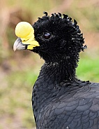 Great Currasow
