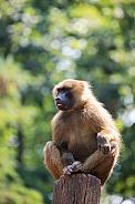Guinea babbon