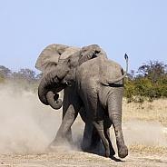 Elephants (Loxodonta africana) fighting