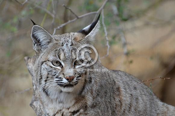 Bobcat Portrait