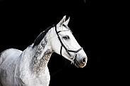 Dapple Grey Thoroughbred