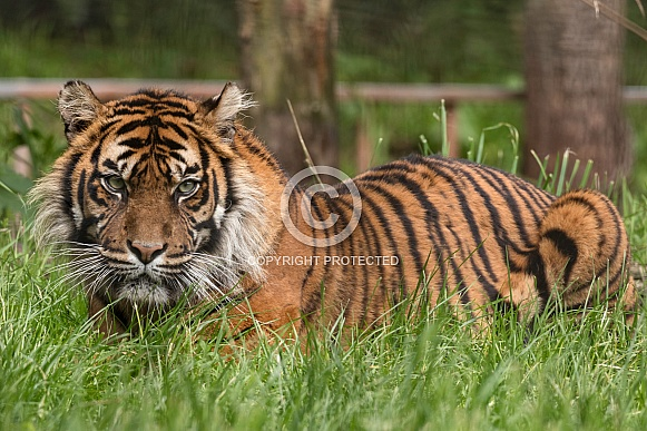 Sumatran Tiger Lying Down Full Body