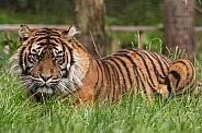 Sumatran Tiger Lying Down Full Body