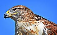 Hawk - Portrait of a Ferruginous Hawk