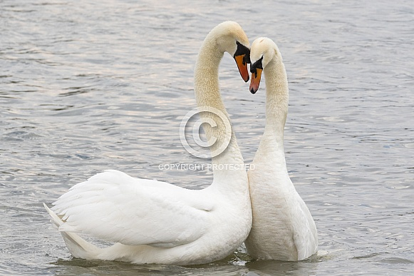 Swans Performing Courtship Ritual