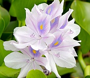 Water Hyacinth flowers (Pond flowers)