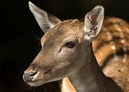 Fallow Deer Doe Portrait