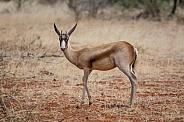 Bronze Springbok