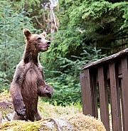 Bear cub standing on hind legs