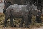 White Rhino Calf