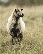 Torddu Badger Face Ewe