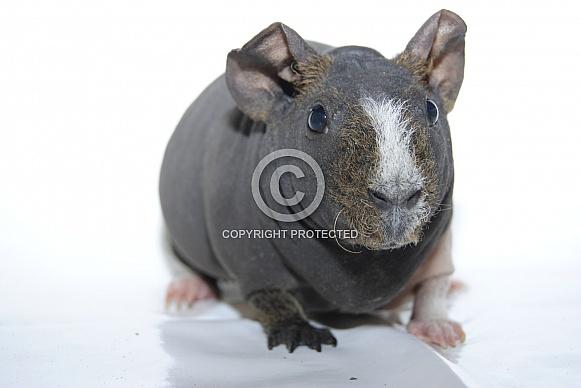 Guinea Pig - 'Skinny Pig'