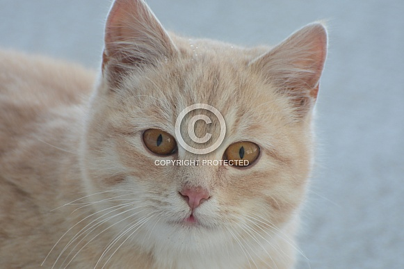 Ginger Tabby Cats