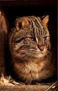 Amur leopard cat