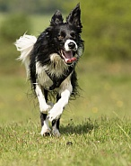 Border Collie Running
