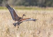 Juvenile Sandhill Crane's Wingspan at Takeoff
