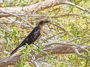 Great-tailed Grackle Female in Nevada