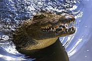 Nile Crocodile - Botswana