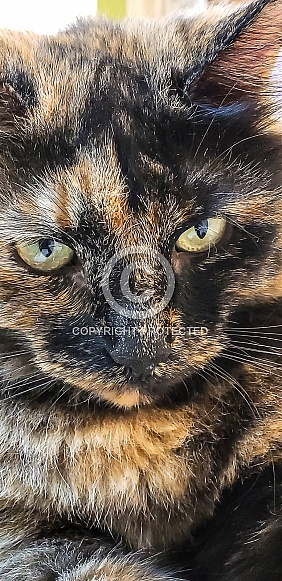 Domestic Longhair Torti Cat