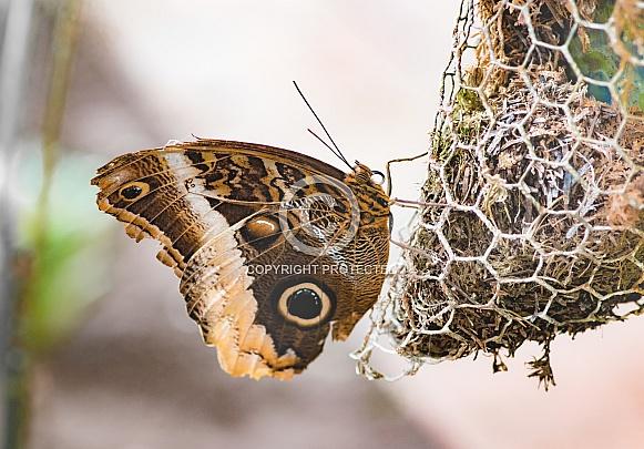 Yellow-edged giant owl Buttyerfly