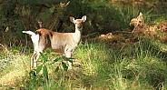 Silka deer hind