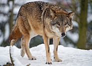 Grey Wolf in Snow