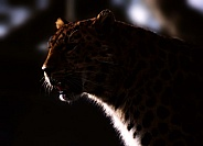 Leopard Twilight