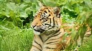 Young sumatran Tiger