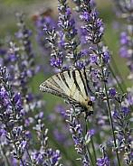 Scarce Swallowtail Buttefly