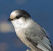 Gray Jay Closeup